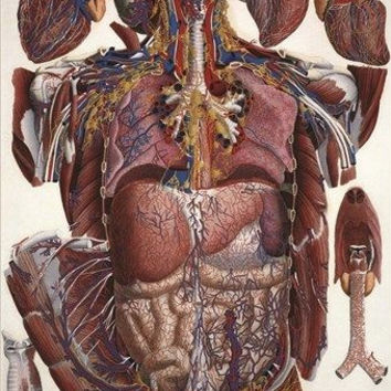 ANATOMY POSTER illustration of human viscera PAULO MASCAGNI scientific 24X36
