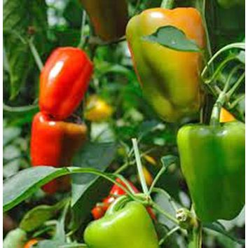 BELL PEPPER, CALIFORNIA WONDER, HEIRLOOM, ORGANIC 25+ SEEDS, SWEET LARGE FRUIT