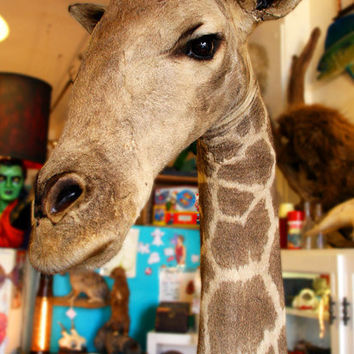 Antique Taxidermy Giraffe by mammothcurios on Etsy