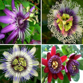 Rare Flower Seeds Passiflora seeds fruit tree seeds Passion fruit seeds Home garden plant  20pcs AA