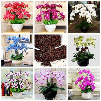 100 Pcs Phalaenopsis Orchid Seeds Perennial Bonsai Flowering Seeds For Four Seasons Potted Plants DIY For Home Garden