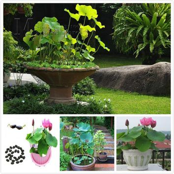 Big promotion 10 Chinese Bowl Lotus Flower Seeds Aquarium Plant Seeds Water Lilies seeds
