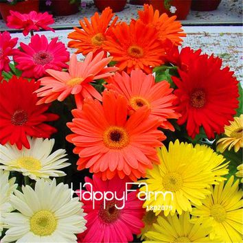 100 Pcs/Pack Lowest Price!Gerbera Daisy Hybrids Mix Flower Seeds Bonsai plants easy to grow Seeds for home & garden