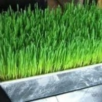 Hard Red Wheat - 1000+ Seeds - For Growing Wheatgrass to Juice, Sprouting Seed, Grinding to Make Flour & Bread, Growing Ornamental Wheat Grass & More. Makes Excellent Food Storage. Outstanding Germination Rate.