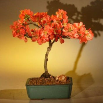 Japanese Flowering Quince Bonsai Tree - Super Red (chaenomeles japonica 'moned')