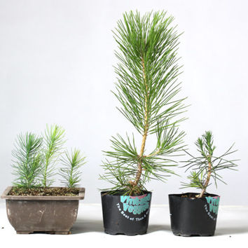 60 Pine Tree Seeds Bonsai Pinus Thunbergii Home Garden Plant Decor DIY Houseplants Pots Balcony