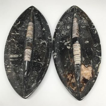 """2pcs, About 12""""x5.4"""" Fossils Orthoceras Ammonite Plates Dishes @Morocco, MF1347"""