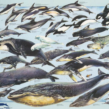 Whales and Dolphins Education Poster 27x39