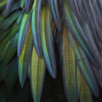 Modern Photography, Contemporary Blue Green Home Decor,  Feathers Wall Art, Nicobar Pigeon