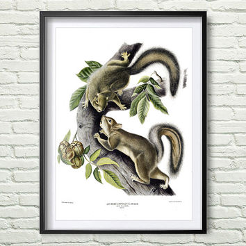 3 Colors Background, Vintage animals print, Squirrel print, Reproductions of old illustrations, Squirrel poster, John Audubon *18*
