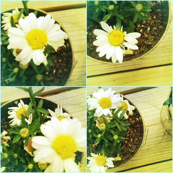 White Daisy Flower Photography Set. Perfect for Mother's Day Four by Beach Bum Chix