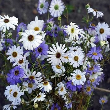 Swan River Daisy Mix Flower Seeds (Brachycome Iberidifolia) 200+Seeds