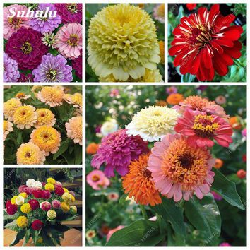 Mixed Colors Zinnia Seeds Perennial Beautiful Flowering Plants Potted Charming Chinese Flower Seeds Diy Garden Plant 100 Pcs/bag