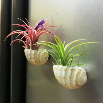 Air Plants In LARGE Sea Shell MAGNETS