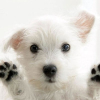 4 Dog Puppy West Highland Terrier Greeting by ASLICEINTIME on Etsy
