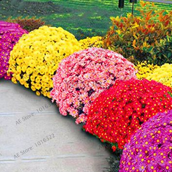 Big Sale!100pcs/bag Ground-cover chrysanthemum seeds, chrysanthemum perennial bonsai flower seeds daisy potted plant for home ga