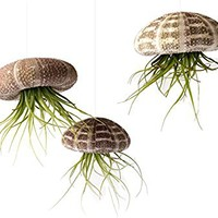 Air Plant Flying Jellyfish School of 3 with 2 oz. Fertilizer