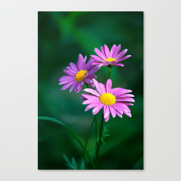 Three purple daisies. Canvas Print by veronika2v