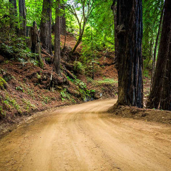 Trees in a forest, along Coast Road, in Big Sur, California.