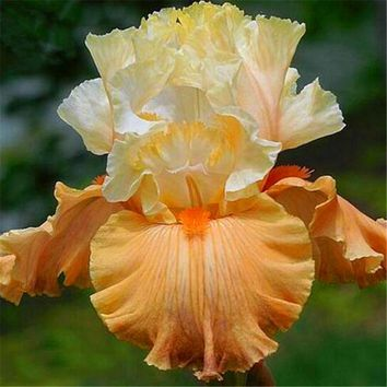 5pcs rare colours iris seeds Heirloom Iris Tectorum Perennial Flower Seeds Very Beautiful bonsai plants for DIY home garden