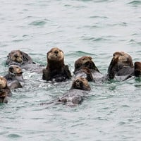 Sea Otter Photo Nature and Wildlife Photo Print Matted 8x10 20x24 16x20 11x14 5x7
