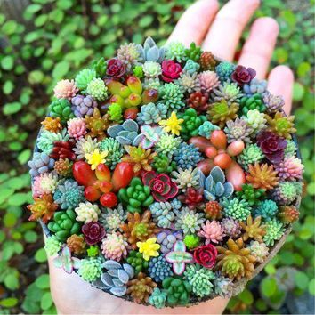 100 pcs/pack Real mini succulent Seeds cactus seeds rare perennial herb plants bonsai pot flower seeds indoor plant for home