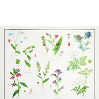 Forget Me Not & Parsley Family Print, c. 1927