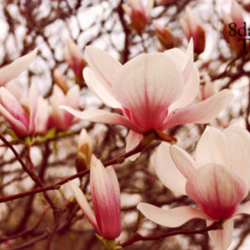Easter, Spring, Pastel, Pink, Red,  Nature Photography, Magnolia Tree Flower - 8x10 Print