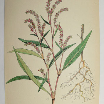 Pale Persicaria Botanical Print 1923 Vintage Wild Flower Art Print, Spring Gift Idea for Home, Cottage Garden Herb Print, Mothers Day Gift