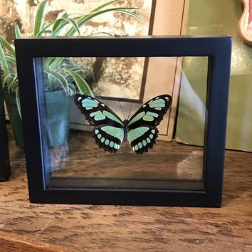 Mounted Philaethria Dido Butterfly