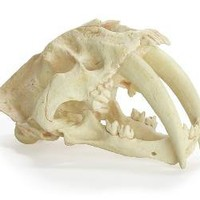 Saber Tooth Tiger Skull | Z Gallerie