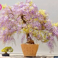 10pcs  Flower seeds  Wisteria bonsai seeds  Home Garden Hanging Decor For Home Garden balcony Courtyard indoor plant