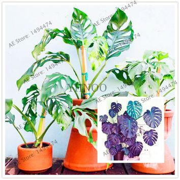 Palm Tree Turtle Leaves,rare tree seeds,mixed colors,Monstera Potted Plants,bonsai plant for home garden,102pcs/bag
