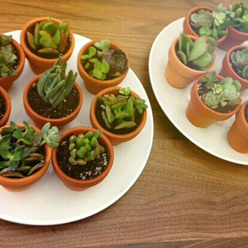 100 Potted Succulent Wedding Baby Shower favors in Clay Pots