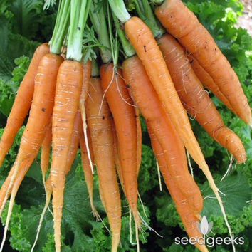 Scarlet Nantes Carrot Heirloom Seeds - Non-GMO, Open Pollinated, Untreated