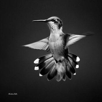 Black and White, Photo Print, Hummingbird Photograph, Bird Wall Art