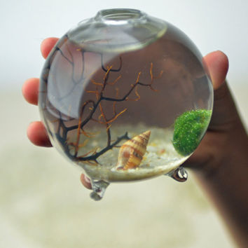 Marimo - Japanese Moss Ball Aquarium - in miniature footed vase -  with sea fan - shells - and sand