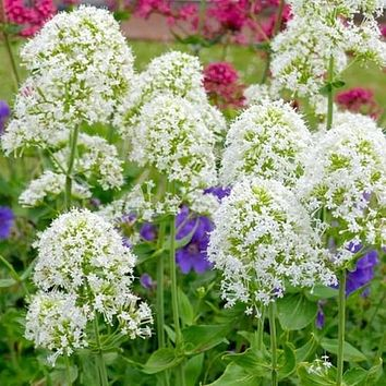 Jupiter's Beard White Flower Seeds (Centranthus Ruber Albus) 50+Seeds