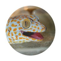 Close up portrait of Tokay gecko in TulaZoo 7 Inch Paper Plate