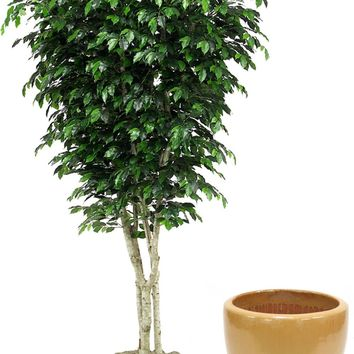 9' Topiary Ficus Tree In Glazed Dark Sand Stoneware Pot