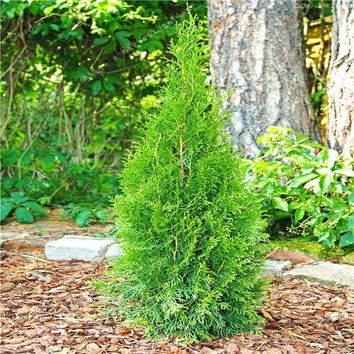 50 Pcs Chinese Platycladus Thuja Orientalis Seeds Bonsai For Home Plants Garden Tree Immortal Symbol Of Longevity