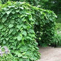 Dutchman's Pipe Vine Seeds (Aristolochia durior) 15+Seeds