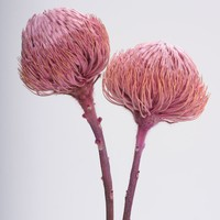 "Dried Banksia Protea Pod Bunch in Pink - 12-18"" Tall"