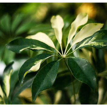 Nature photography fine art photography botanical fine art print schefflera photograph 8x12 wall decor wall art green yellow leaves