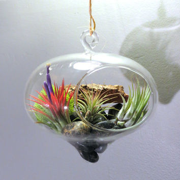 Large Hanging Terrarium three Tillandsia Ionantha Air Plants: Mexican, Guatemalan, & Scaposa // One plant guaranteed in Bloom!