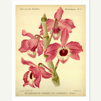 Dendrobium Orchid Botanical Print, 1897 - 8.5x11 Reproduction Antique Print - also available in 13x19 - see listing details
