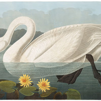 Plate 411: Common American Swan