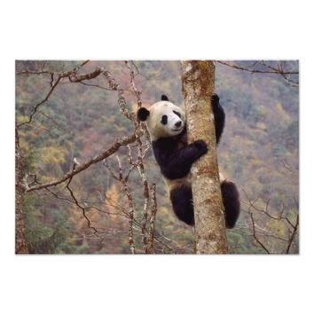 Panda on tree, Wolong, Sichuan, China