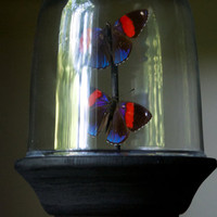 88 Butterfly Dome Display