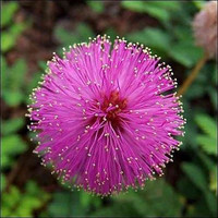 Sensitive Plant Seeds (Mimosa Pudica) 50+Seeds